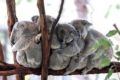 Chow Chow, Animals And Pets, Baby Animals, The Wombats, Lovely Creatures, Australian Animals, Animal Facts, Cute Little Animals, Animal Wallpaper