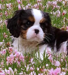If we get another dog it will be a King Charles Cavalier Spaniel. SO adorable :)