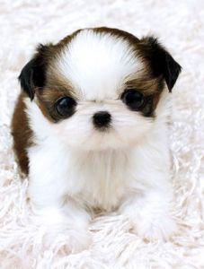 Baby Face Precious baby face Shih Tzu Precious baby face Shih Tzu raised on our hobby farm… Teacup Shih Tzu, Teacup Puppies, Cute Puppies, Cute Dogs, Dogs And Puppies, Doggies, Shih Tzu Puppy, Shih Tzus, Puppy Pictures
