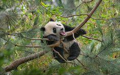Download wallpapers funny panda, tree, zoo, cute animals, small panda, pandas, Ailuropoda