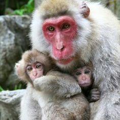 . Wild Animals Photos, Animals And Pets, Baby Animals, Cute Animals, Primates, Mammals, Jigokudani Monkey Park, Types Of Monkeys, Japanese Macaque