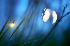 Firefly and Moon, ( species Photinus Pyralis). Photo by Radim Schreiber, fireflyexperience.org