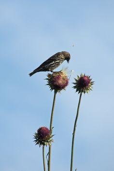 Pine Siskin ©Steve Frye. Wild Bird Center of Boulder, CO Saturday Morning Bird Walk in Boulder County – June 5, 2014.