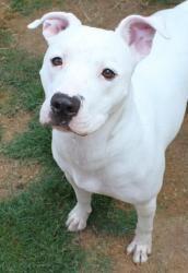 Adoptable Dog: Maybelline - Pit Bull Terrier Dog (Fultondale, AL) #pets #animals…