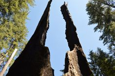 Giant redwood trees Yosemite National Park