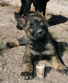 DDR German shepherd puppy