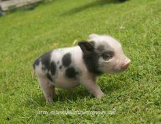 pin von jessi garz n auf mini pigs pinterest schweinchen wundervoll und seele. Black Bedroom Furniture Sets. Home Design Ideas
