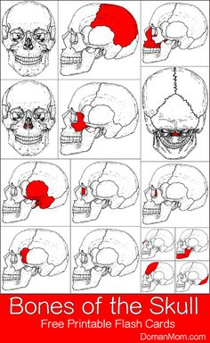 Free Bones of the Skull Printable Flash Cards