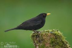 blackbird, or colly-bird as they used to be called Colly Birds, Blackbird, 12 Days Of Christmas, Riga, Beautiful Birds, Kos, Animals And Pets, Wildlife, Olive Oil