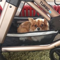 thanks @lisas_diary for the dog taxi  #abcdesign #thinkbaby #turbomoments #dog #chihuahua #basket #kinderwagen #stroller #prams #pushchair #abcdesign_turbo4s #turbo4s