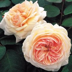 A Shropshire Lad, tall shrub / small climber