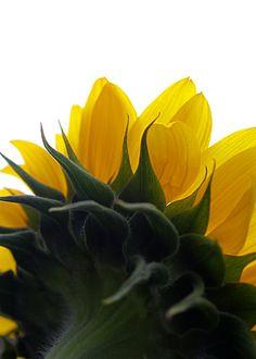 ☼ sunflowers