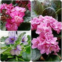 Just a few #flowers from my #africanviolets! #karmabloggers #flower #petal #petals #nature #beautiful #love #pretty #plants #blossom #sopretty #flowerstagram #flowersofinstagram #flowerstyles_gf #flowerslovers #flowerporn #botanical #floral #florals #insta_pick_blossom #flowermagic #instablooms #bloom #blooms #floweroftheday