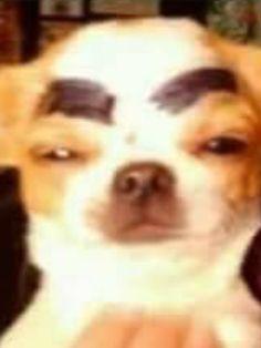 Look at meh eyebrows! Am I pretty? Cute Animal Memes, Cute Funny Animals, Funny Animal Pictures, Cute Baby Animals, Funny Cute, Funny Dogs, Cute Memes, Cartoon Memes, Stupid Funny Memes