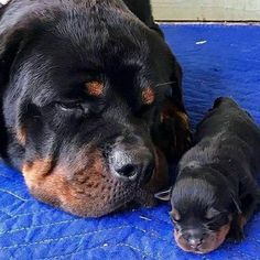 Things I respect about the Rottweiler Pup Dinge, die ich am Rottweiler-Welpen respektiere Rottweiler Breed, Rottweiler Love, Cute Puppies, Cute Dogs, Dogs And Puppies, Chihuahua Dogs, Doggies, Cute Baby Animals, Animals And Pets