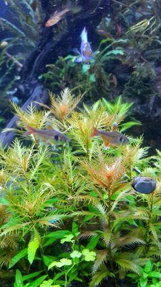 BIOTA AQUATIC PLANT: JUAL TANAMAN AIR / TANAMAN HIAS/ TANAMAN AQUASCAPE...