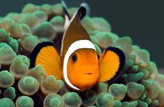 O peixe palhaço está na lista de peixes mais procurados para aquário | Portal Animal - o canal de pets do Estadão