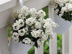SUNPEDDLE® White Perfume | Urban Nemesia vanilla scent