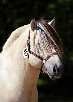 Norwegian Fjord - handsome boy! Horse Girl, Horse Love, Fjord Horse, All About Horses, Draft Horses, Wild Horses, Horseback Riding, Beautiful Horses, Handsome Boys