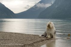 Old English Sheepdog by the sea