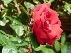 Wunderbare Motive im Spätsommer | Rosen im Licht des Spätsommers (c) Frank Koebsch