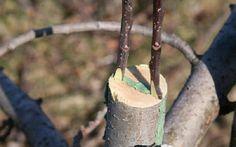 черенкование плодовых деревьев: 18 тыс изображений найдено в Яндекс.Картинках