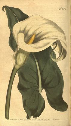 Botanical illustration of calla lily from Biodiversity Heritage Library Vintage Botanical Prints, Antique Prints, Botanical Art, Vintage Art, Vintage Floral, Illustration Botanique, Botanical Illustration, Zantedeschia Aethiopica, Lily Painting