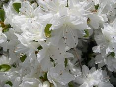 Snow Kurume Azalea is the hardiest and most profuse bloomer of the semi-dwarf evergreen azaleas. A moderate grower to 3 feet. Produces an abundance of pure white, hose-in-hose blossoms against a backdrop of small glossy leaves. Shade to part shade           Height:     2-3 Feet     Spread:     2-3 Feet       Hardiness Zone:     6-9