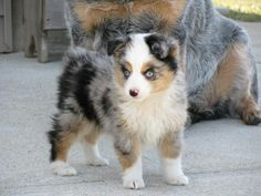 Some of the things we like about the Smart Australian Shepherd Puppies Teacup Australian Shepherd, Mini Australian Shepherds, Australian Cattle Dog, Teacup Aussie, Aussie Puppies, Cute Puppies, Cute Dogs, Dogs And Puppies, Toy Aussie