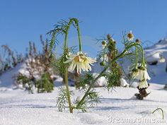 Camomiles in the cold snow