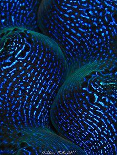 Tridacna crocea- Crocea clam closeup | Flickr - Photo Sharing!