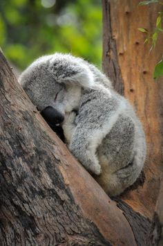 Baby Koala Wild animals are less wild and more human than many humans of this world. Cute Funny Animals, Cute Baby Animals, Funny Koala, The Animals, Wild Animals, Photo Animaliere, Sleeping Animals, Australian Animals, Tier Fotos