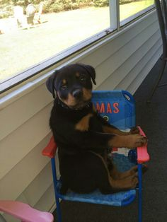 Oh my! Such a sweet #Rottweiler #puppy