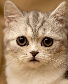 The Singapura Cat - Cat Breeds Encyclopedia