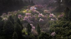 During the month of February is the time of the flowering of the almond trees on the island of La Palma. The fields are dressed in purple with the flowers of these spectacular trees.