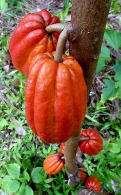 Theobroma Cacao - Its seeds are used to make cocoa powder and chocolate