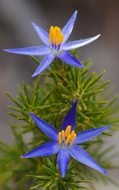 Calectasia grandiflora - Blue stars or Blue Tinsel Lily, by ron_n_beth, via Flickr