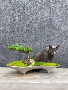 Our garden cat loves to lounge by our mini gardens. This concrete planter contains our kitty's favorite plants, a Japanese Juniper Bonsai, Sedum 'Little Missy' Variegated,  Sagina subulata 'Irish Moss' and Sagina subulata 'Golden Scotch Moss'.  Its planted in a long centerpiece planter that embraces a modern mid-century design look. Modern Planters, Concrete Planters, Succulent Bonsai, Planting Succulents, Long Planter, Juniper Bonsai, Irish Moss, Mould Design, Garden Deco