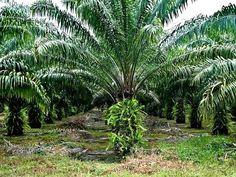 Bengo, Benguela, Cabinda, Cuanza Norte e Uíge São as Zonas Identificadas Para Plantação de Palmeiras | AngolaBela Plants, Palm Trees, Places, Traveling, Norte, Tourism, Photos, Plant, Planting