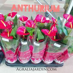 Anthurium Garden Centre
