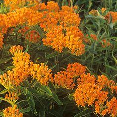 Butterfly weed (<i>Asclepias tuberosa</i>) - Best Plants for Rain Gardens - Sunset