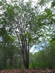 Mulungu –  planta medicinal com efeito ansiolítico, antidepressivo, tranquilizante, sedativo, hepatoprotetor, entre outros.
