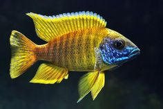 Sunshine Peacock Cichlid