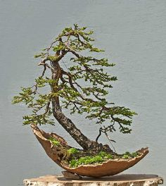 Walter Pall Bonsai Adventures: Ezo spruce #3 finished