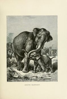Asiatic elephant, Our Living World: An artistic edition of the Rev. J. G. Wood's Natural History of Animate Creation, Joseph Bassett Holder, Vol I, 1885.