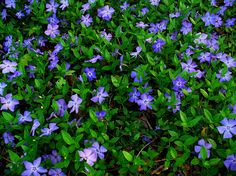 Vinca Minor or Periwinkle. I love this groundcover. It spreads rapidly but is in no way invasive. Love the periwinkle blue flowers in spring and the evergreen leaves all year! Looks beautiful cascading down rock walls and over steps. Loves shady areas, but does equally well in the sun if given enough water and shade during the hot afternoon. Hardy in zone 5.