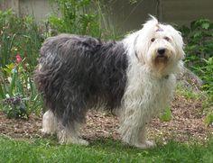 Adopting an Old English Sheep Dog.