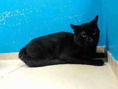 TO BE DESTROYED 8/21/13 Brooklyn Center  My name is CASEY. My Animal ID # is A0975273. I am a male black domestic sh mix. The shelter thinks I am about 3 YEARS old. https://www.facebook.com/photo.php?fbid=649384908406678=a.576546742357162.1073741827.155925874419253=3