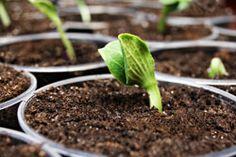 Kürbis pflanzen - 2 Möglichkeiten