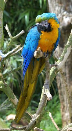 Blue and Gold Macaw from South America, Venezuela, Brazil, Bolivia and Paraguay